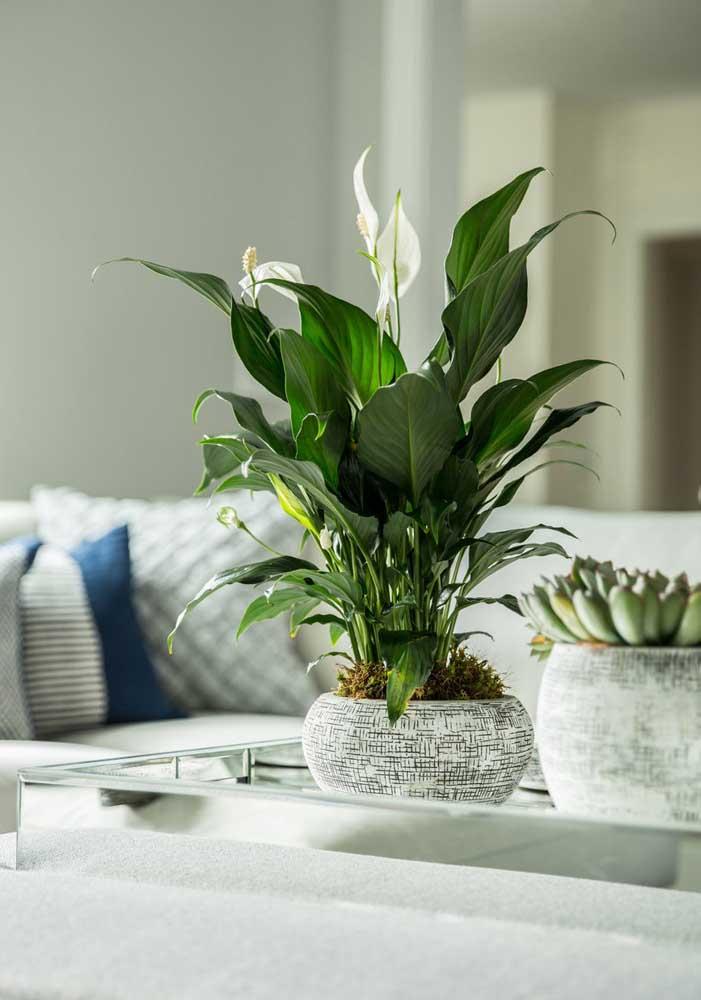 Lírio da paz: linda opção de planta com flor para sala