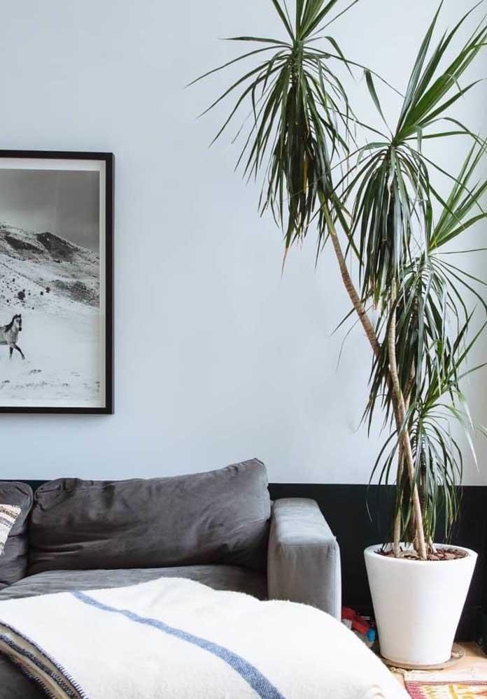 Quer uma planta para sala de pouca luz? Aposte na dracena