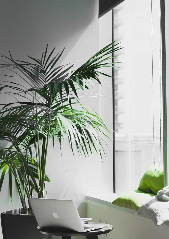 O que acha de uma palmeia rafis na sua sala?