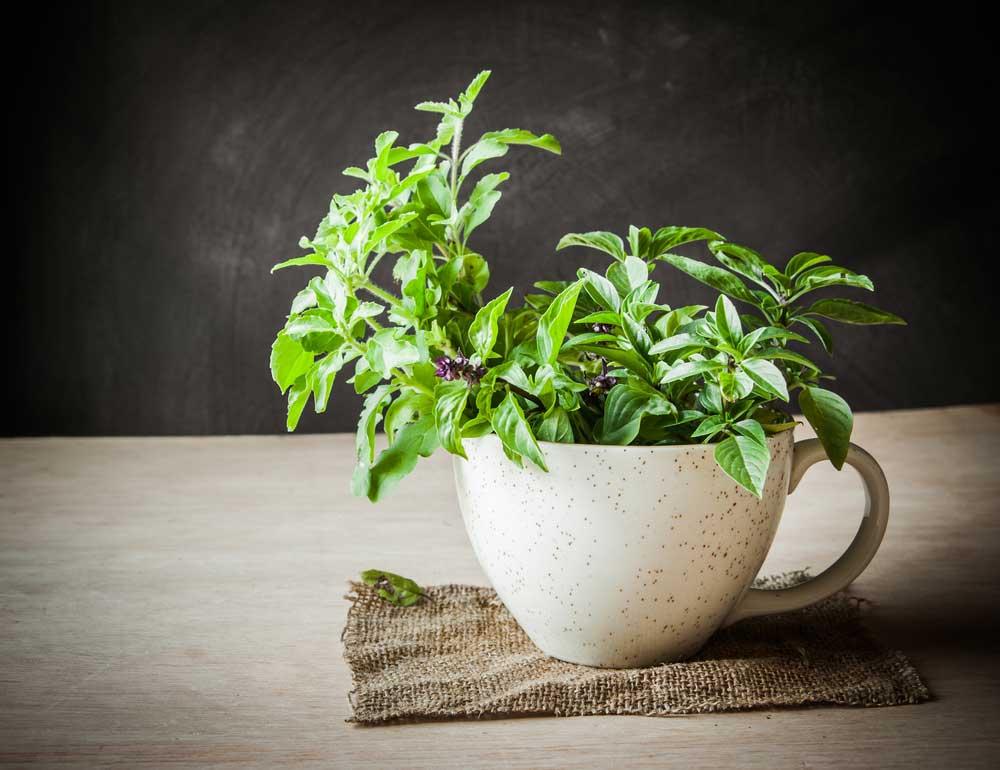Como plantar muda de manjericão