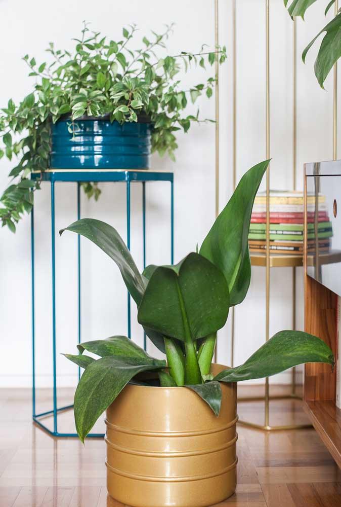 Vaso de Pacová na sala: planta ornamental perfeita para interiores