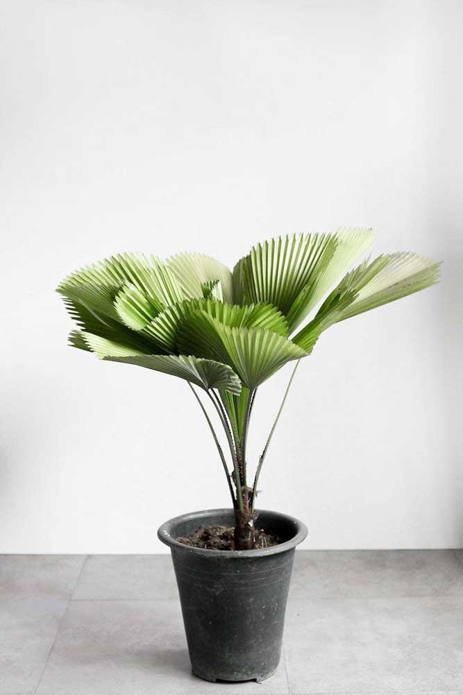 Palmeira Leque em vaso: planta ornamental de folhas exuberantes