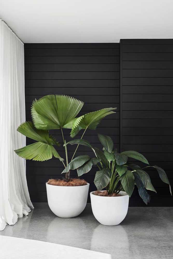 Pacová e palmeira leque: linda dupla de plantas ornamentais