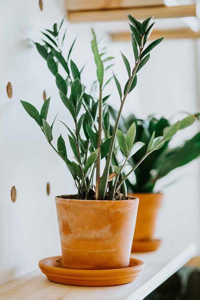 Zamioculca: planta ornamental que exige poucos cuidados