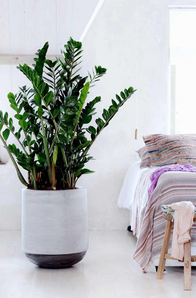 Um vaso gigante de Zamioculca para o quarto branco