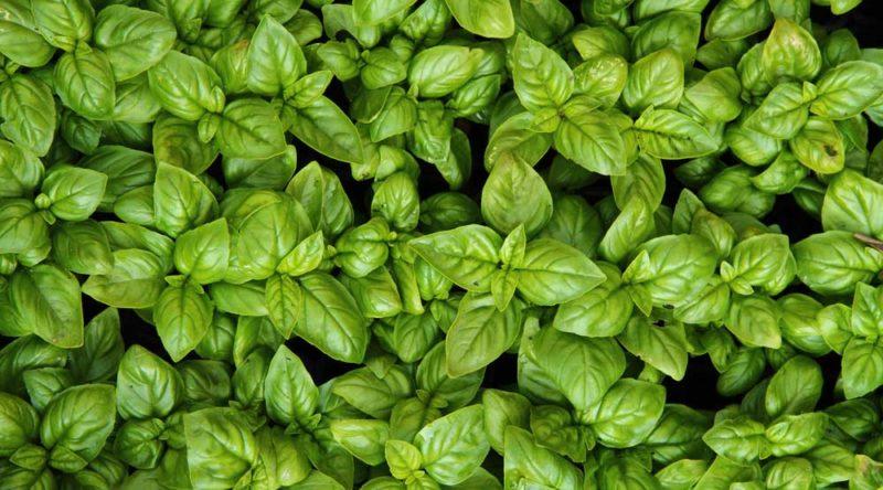 Como plantar manjericão: dicas para cultivar essa planta saborosa