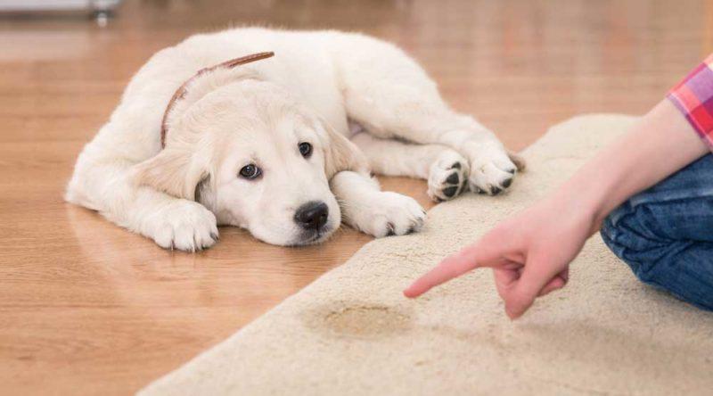 Como tirar cheiro de xixi de cachorro: veja o passo a passo fácil