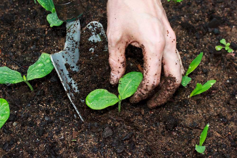 Temperos para plantar em casa