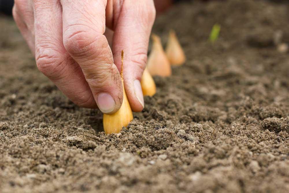 Como plantar cebola branca: preparando o solo